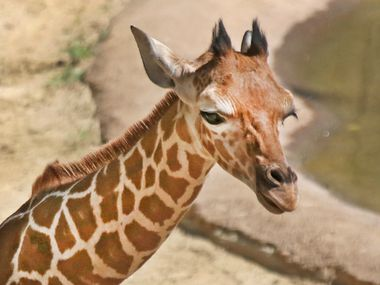 Witten, a young giraffe at the Dallas Zoo, died earlier this year.