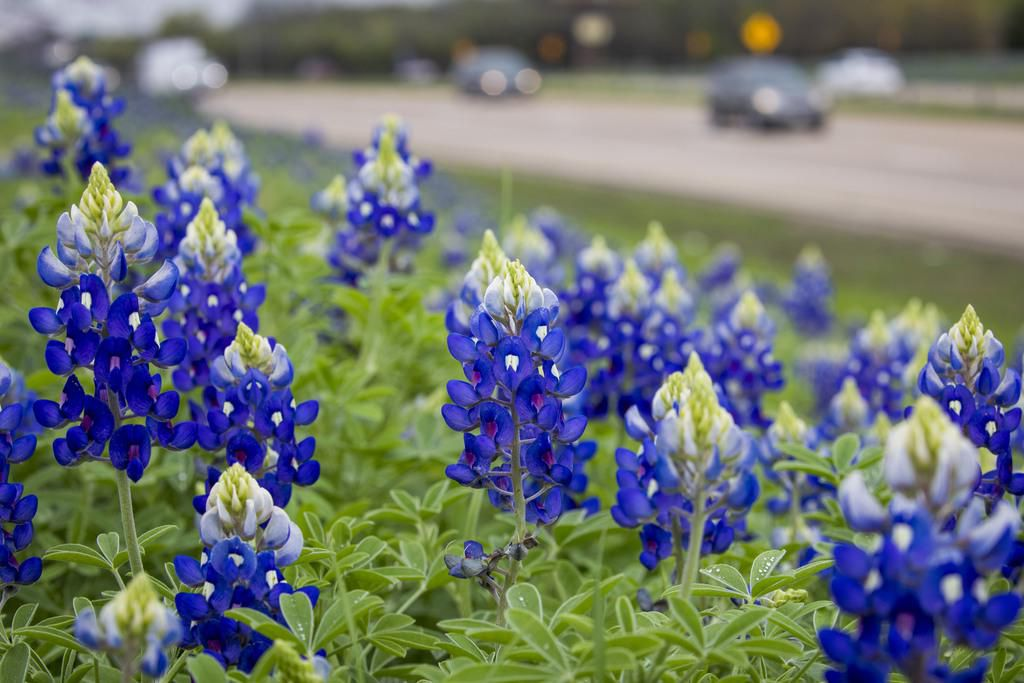 Las florecitas azules o Blue Bonnets tendrán una temporada espléndida en 2019. (DMN/SMILEY N. POOL)