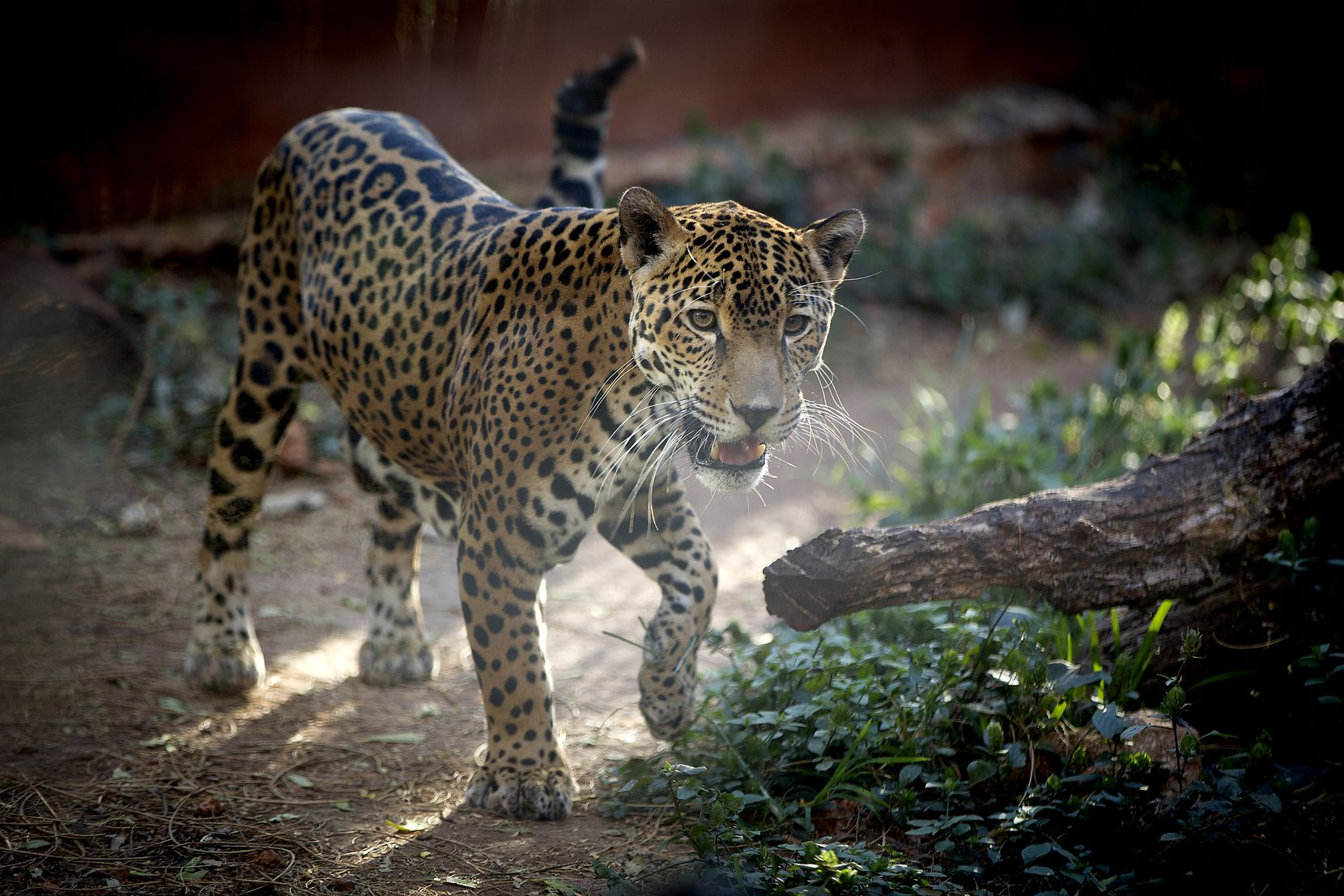 A jaguar makes its way through its enclosure at the Choco-Story Museum and Eco-Park in Uxmal, Yucatan. The park has a Mayan chocolate museum, but it is also filled with plants, flowers and animals native to the area.