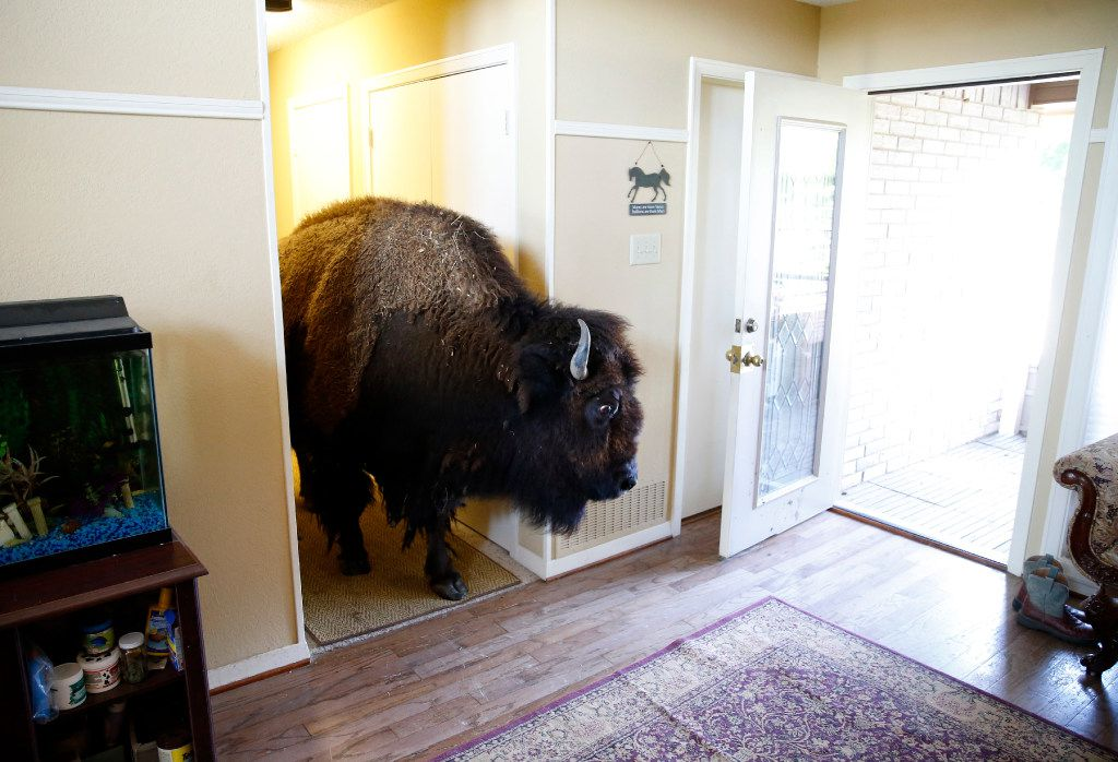 Bullet walks through the hallway of her owner Karen Schoeve's home in Argyle, Texas on Friday, May 13, 2016. Bullet, a bison, lives outside but occasionally walks through the house to visit. (Vernon Bryant/The Dallas Morning News)