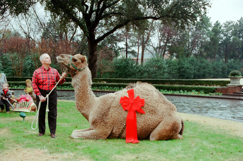 Teddy the Camel showed up at Ross Perot's estate on Strait Lane on Christmas Day 2000 as a payback prank of son-in-law Patrick McGee.