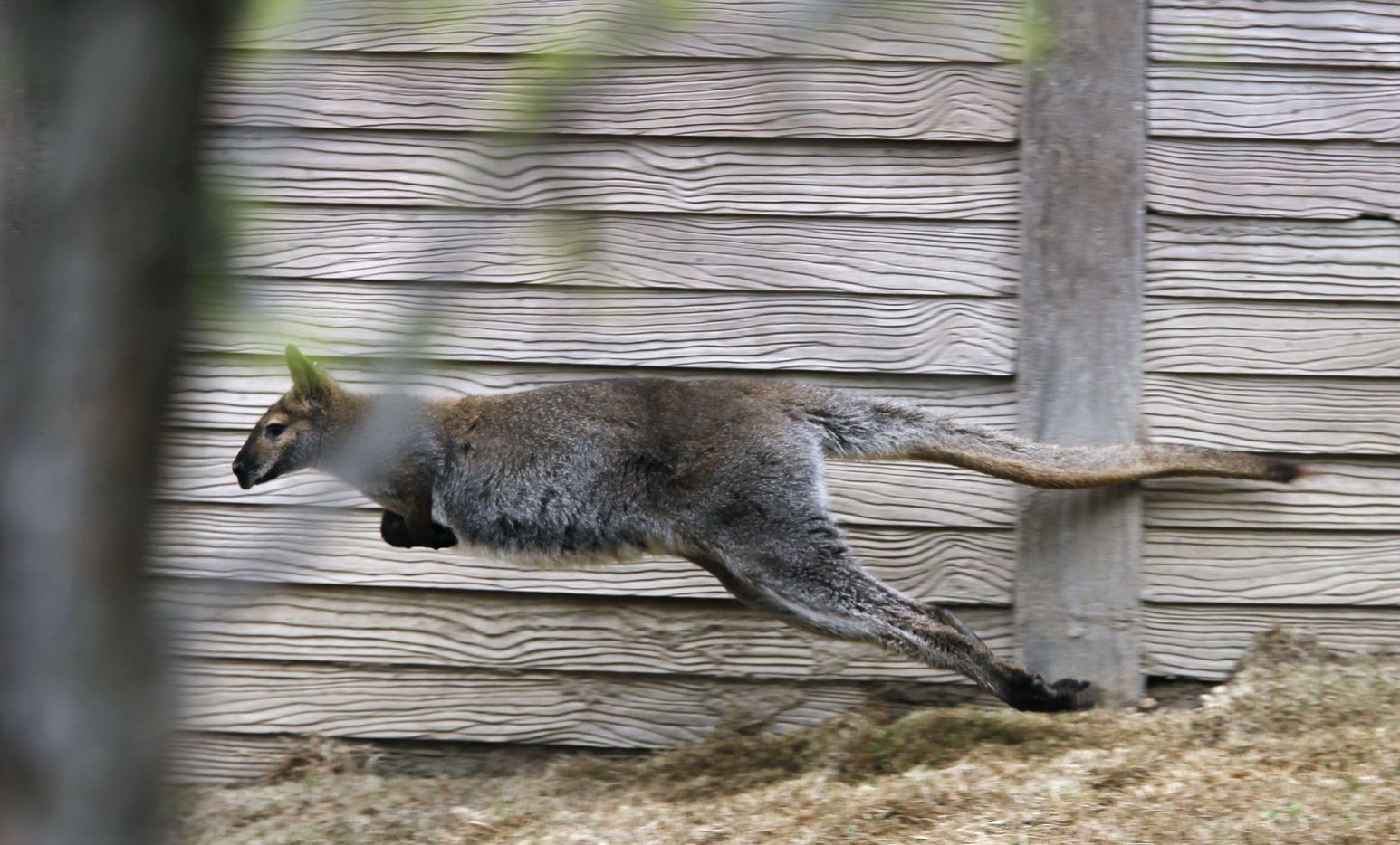 A wallaby runs around in the Koala Walkabout exhibit which opened March 2012 at the Dallas Zoo.