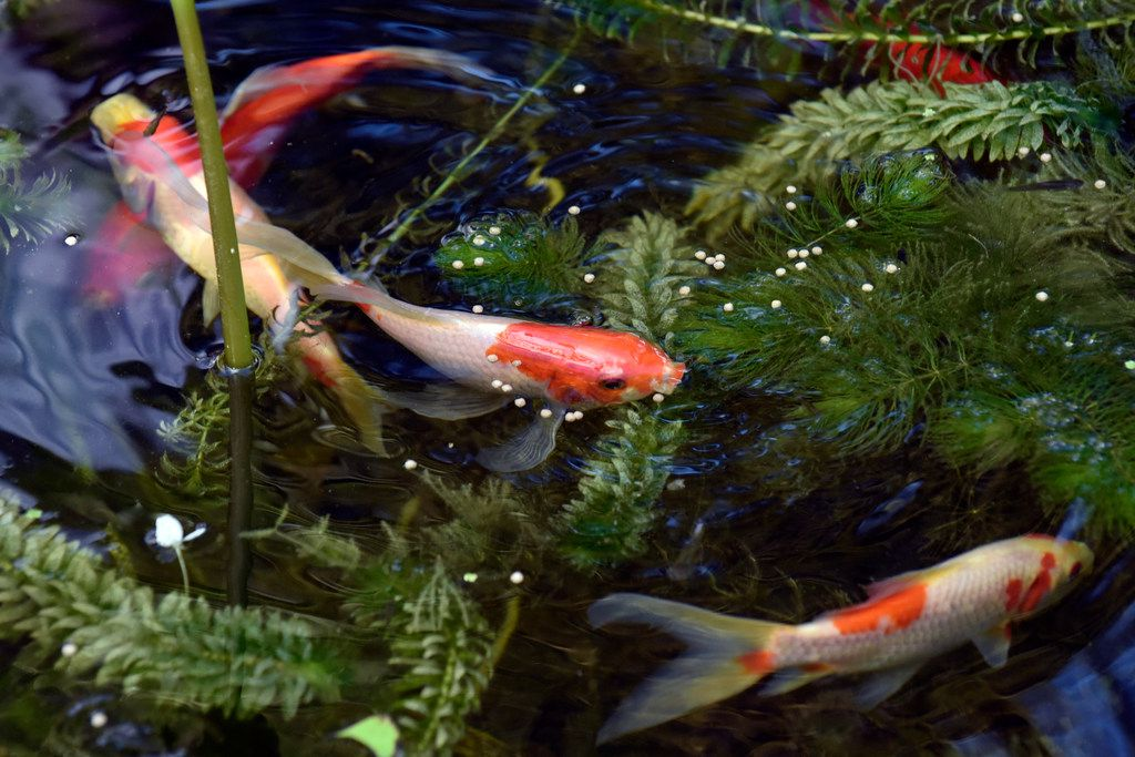 Koi fish swim inside the backyard pond of the Saucedo family's home in Dallas.