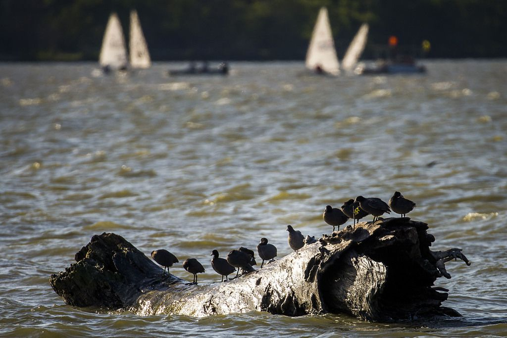 Sailboats ply the waters of White Rock Lake behind birds sunning on a log.