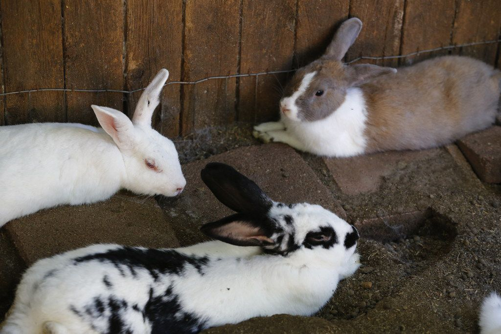 Some of the rabbits she keeps in her backyard refuge will live out their days there.