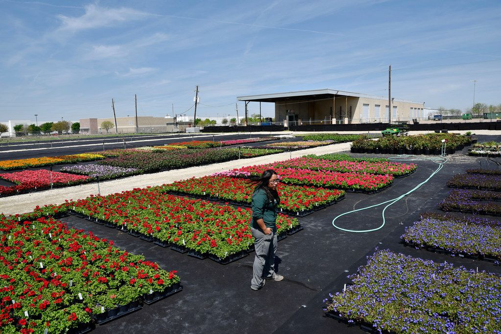 Ana Swinson, the greenhouse manager, shows off some of the many flowers that are grown at Dallas Arboretum's newest greenhouse, The Tom and Phyllis McCasland Horticulture Center in Mesquite, Friday April 05, 2019. Ben Torres/Special Contributor