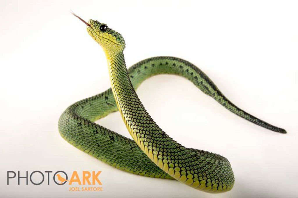 Joel Sartore's photos of Dallas Zoo animals. A Great Lakes bush viper/sedge viper (Atheris nitschei) at the Dallas Zoo.
