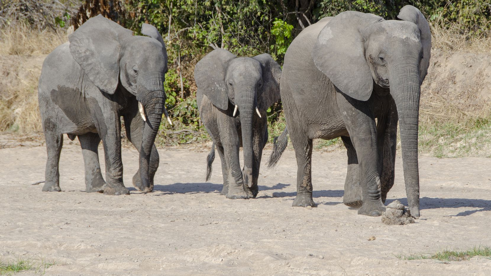 An elephant mother and her two calves look for water in a dry riverbed in Zambia's South Luangwa National Park.