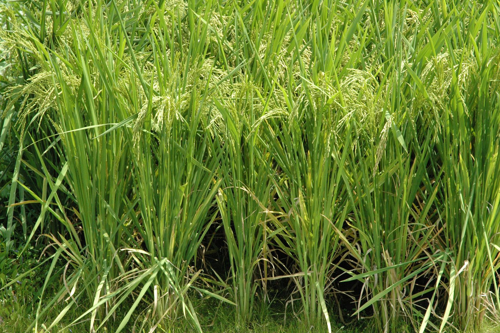 In this 2011 file photo, rice nearing harvest is seen at the Texas A&M AgriLife Research Center near Beaumont.