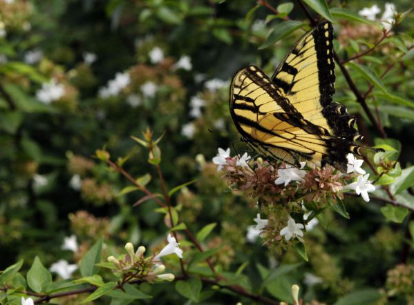 The author's rarely pruned hedge of Abelia x grandiflora provides months of butterfly and hummingbird watching.