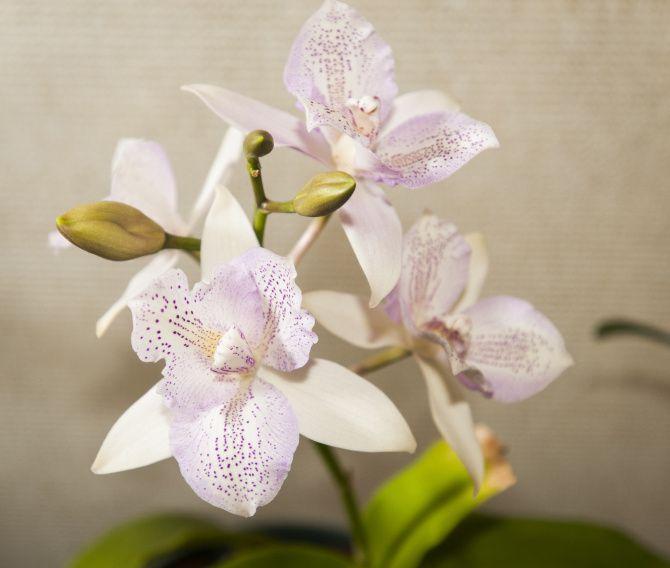 En la actualidad, existen variedades de orquídeas mucho más accesibles y su venta se ha disparado, al punto de que es la flor más popular del mundo.