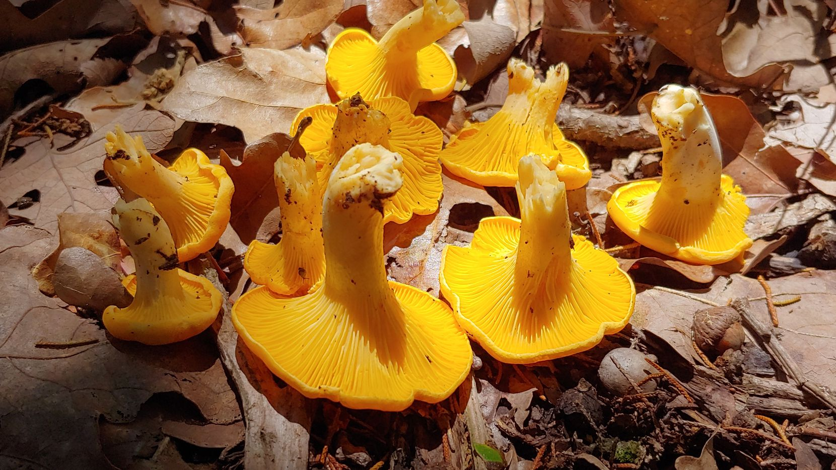 Pinching edible chanterelle mushrooms at their base helps keep their false gills clean of dirt and debris, a trick that makes cooking preparation much easier.