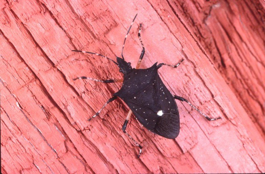 Another spined shoulder bug, which is beneficial. You can identify it by the spines on its shoulders.