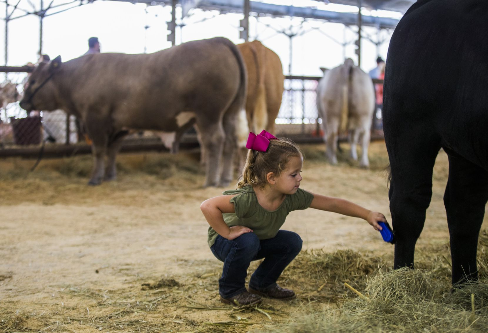 Harper McMurphy, who was 4 at the time, brushed a black steer that was shown by her brother, 8-year-old Layton McMurphy (not pictured), at the State Fair of Texas last fall.