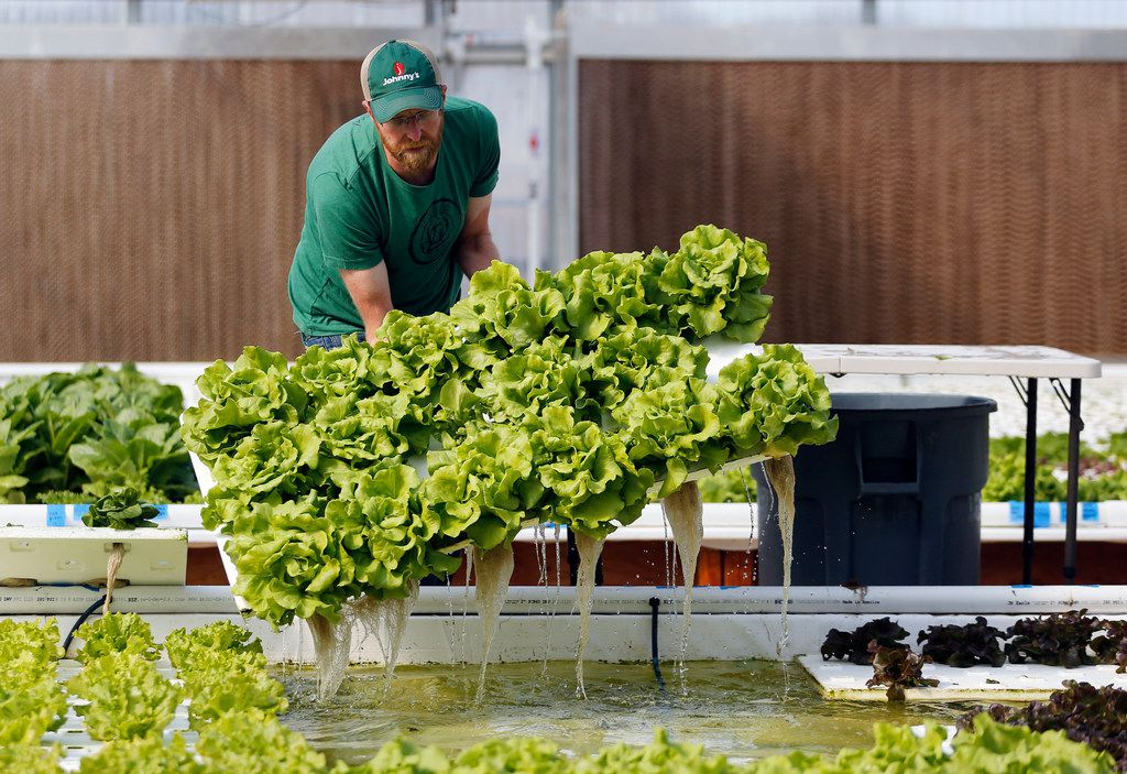 Profound Microfarms owner Jeff Bednar harvests lettuce to fulfill an order inside the hydroponics greenhouse at Profound Microfarms in Lucas.