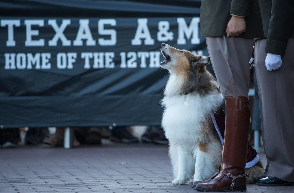 Texas A&M mascot Reveille IX stands with her handler Mascot Corporal Mia Miller during a funeral service for her predecessor, the former mascot Reveille VIII on Thursday, August 30, 2018 at The Zone Plaza of Kyle Field in College Station, Texas. Reveille VIII, who passed away in June at the age of 12, represented Texas A&M from August 2008 until her retirement in May 2015. (Ryan Michalesko/The Dallas Morning News)