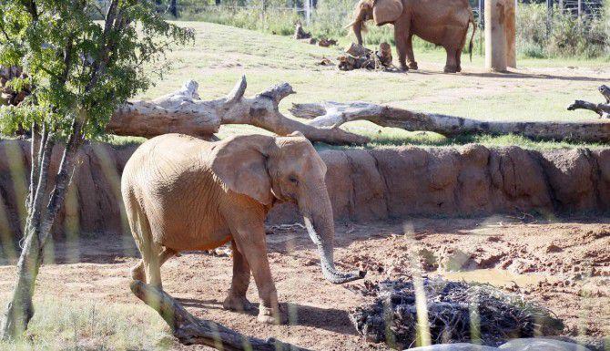 El Zoológico de Dallas cuenta con cuatro elefantes, y espera recibir otros seis para la primavera. (DMN/KYE R. LEE)