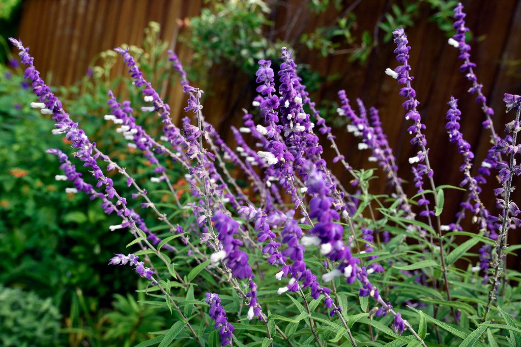 Mexican bush sage in the Saucedo garden