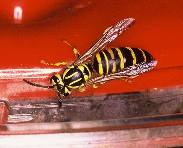 The Texas yellowjacket is an aggressive hornet that can hurt you. It's a good idea to hire professionals to handle these wasps.