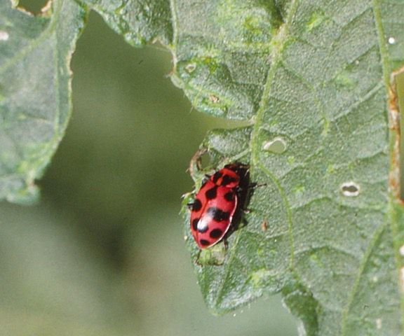 An adult pink spotted lady bug
