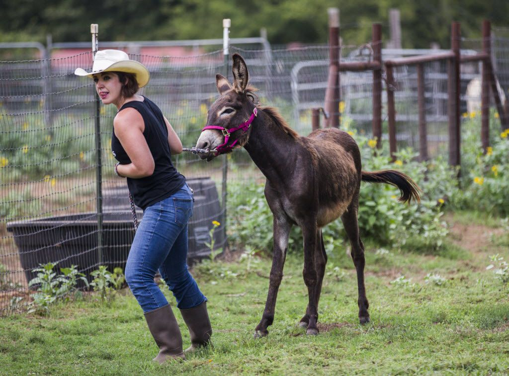 Jess Anselment leads Charlie the donkey to a trailer.