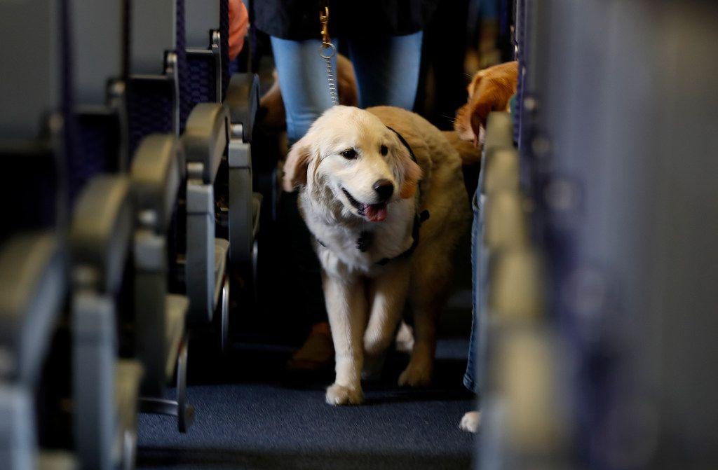 Los perros de servicio por ceguera o apoyo emocional serán la excepción a la nueva regla de los CDC sobre el ingreso de mascotas desde más de 100 países con alto riesgo de rabia.