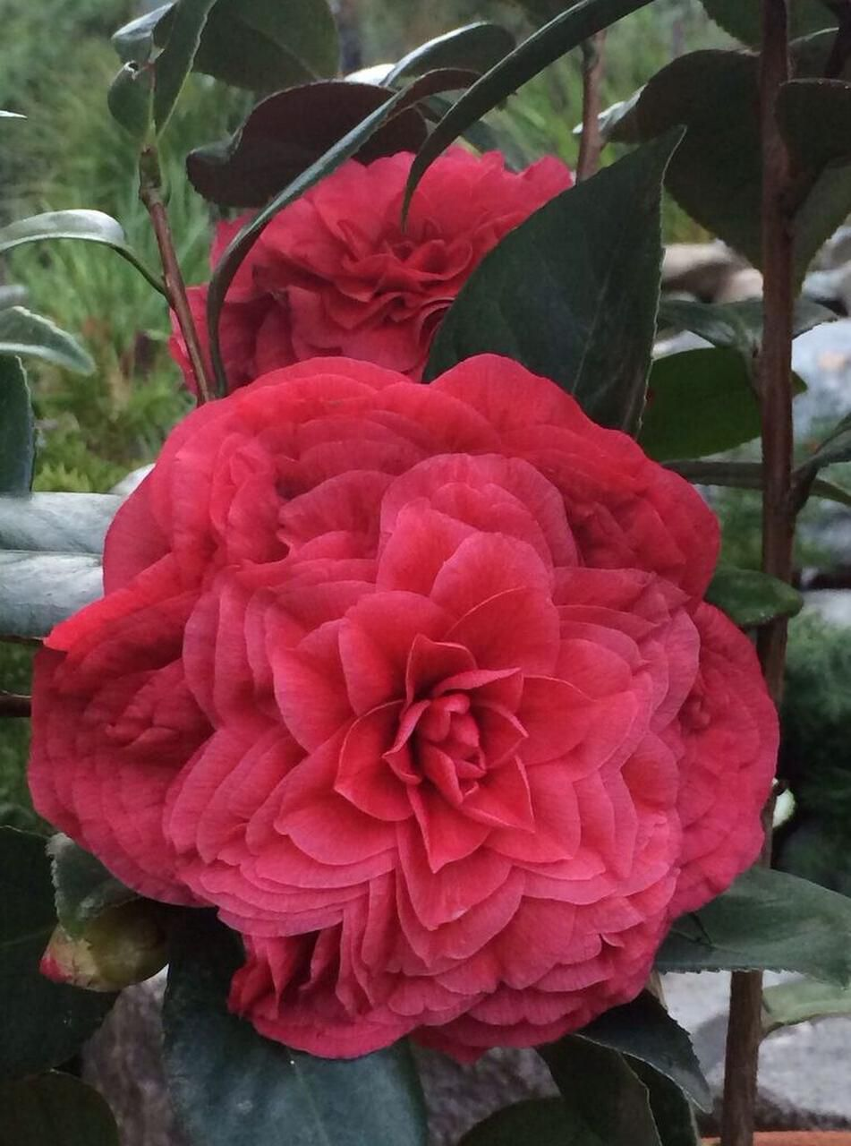 Camellia japonica 'Vestito Rosso' is a new japonica. New foliage is glossy, deep red with a perfect formation of petals.