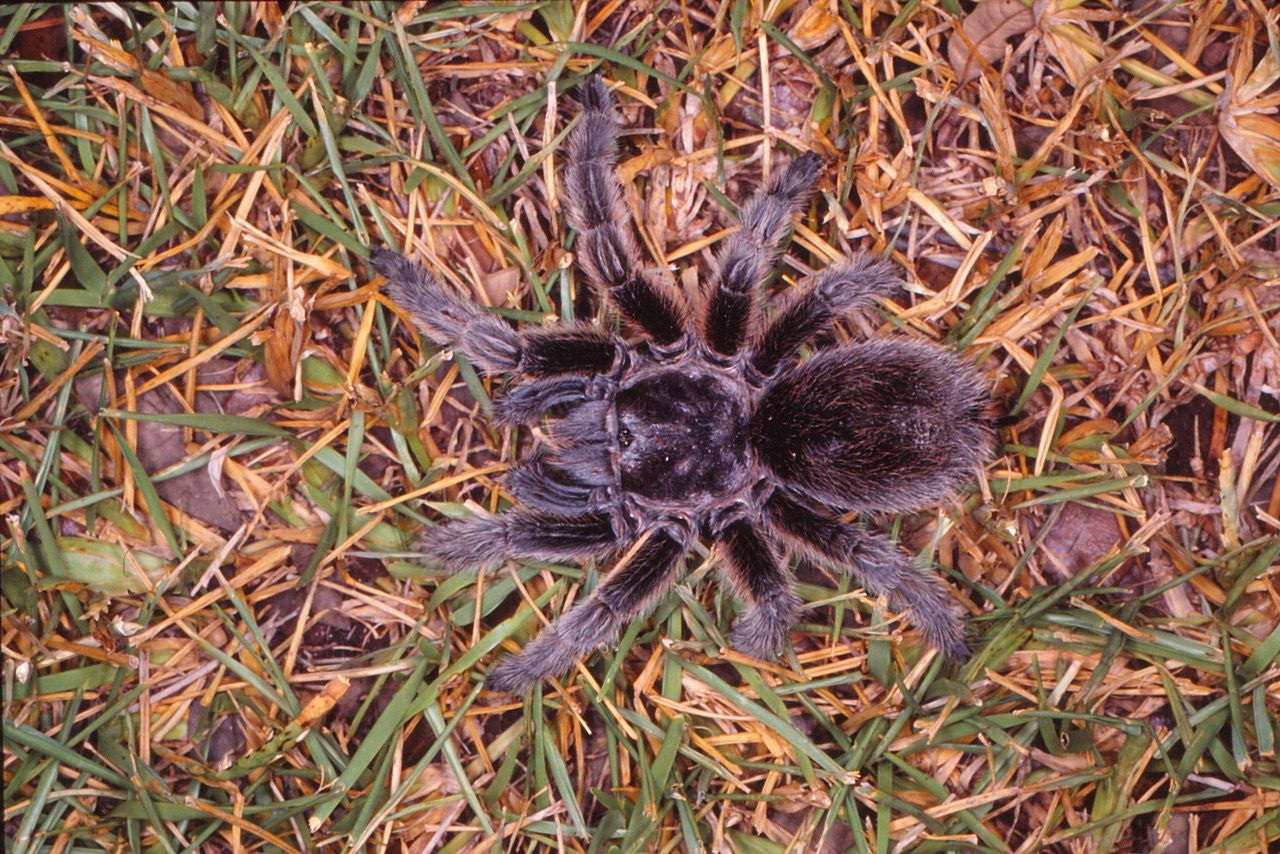 Tarantulas may look dangerous but they are not.