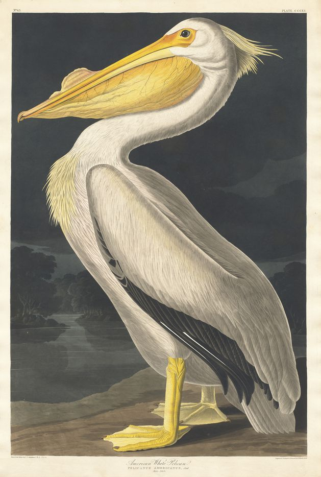 Robert Havell Jr., after John James Audubon, American White Pelican, from The Birds of America, 1836, hand-colored etching and aquatint, National Gallery of Art, Washington, Gift of Mrs. Walter B. James