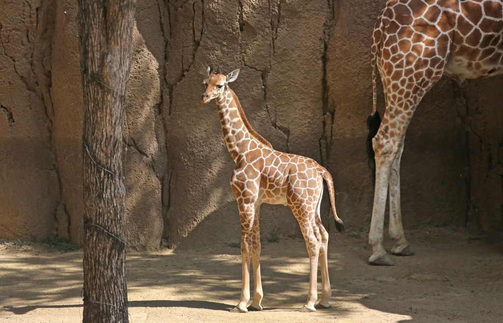 Witten, born April 25, 2018 at the Dallas Zoo, made his public debut a month later at the Giants of the Savanna habitat.