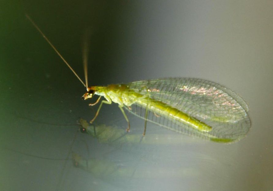 Green lacewing adults pollinate plants and are among our most important beneficial insects.