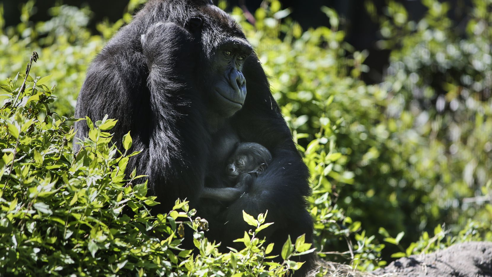 "Megan, a 13-year-old critically endangered Western lowland gorilla, holds her one-week-old baby, who is unnamed until zoo can determine gender, at the Dallas Zoo on Thursday, March 14, 2019 in Dallas. Megan delivered the baby early Thursday and has been nursing often and is doing well, according to a news release from the zoo. The baby gorilla will get a name and the zoo will announce the gender in the coming weeks. The baby's father, a silverback named Subira, also fathered 9-month-old Saambili, who was born in June and has ""already shown much interest"" in her half-sibling. Megan and Subira were paired as part of a breeding recommendation in an effort to increase the Western lowland gorilla population in North America, the zoo said. (Ryan Michalesko/The Dallas Morning News)"