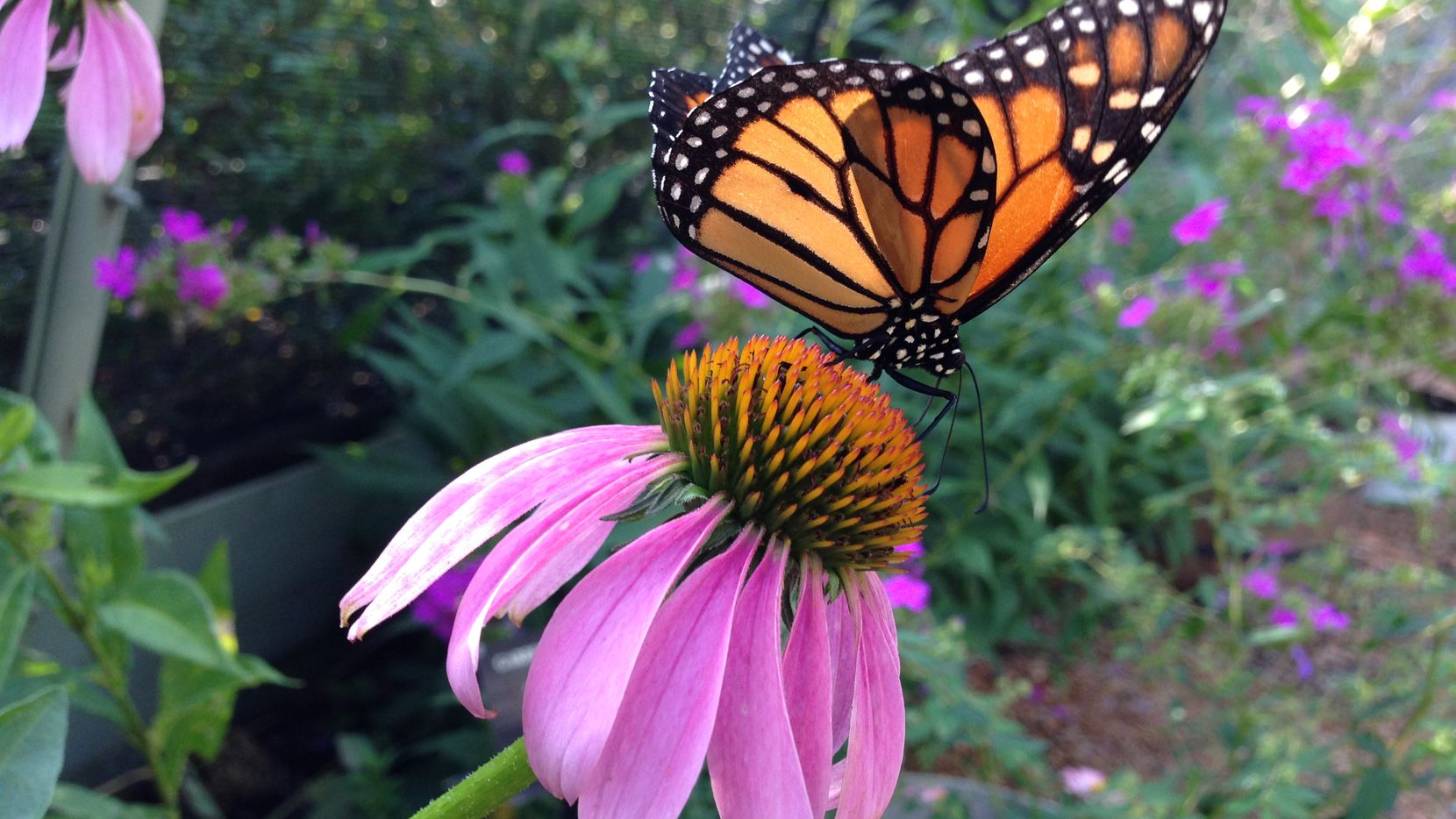 The Heard Natural Science Museum and Wildlife Sanctuary in McKinney will host Native Texas Butterfly House and Garden.