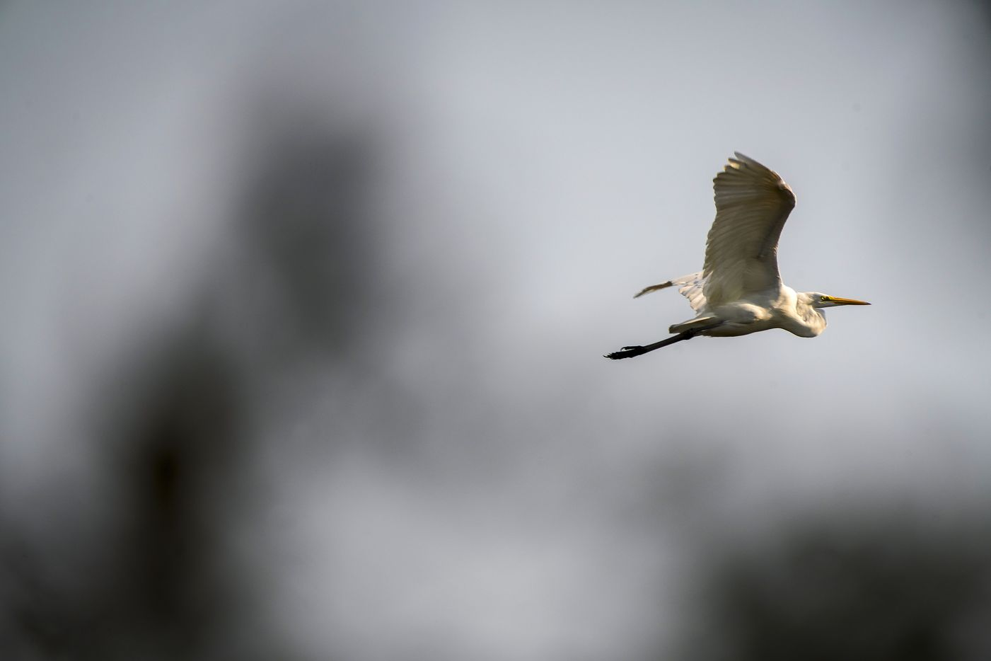 A Great Egret flies over Raccoon Pond at Trinity River Audubon Center on Wednesday, Oct. 7, 2020, in Dallas. (Smiley N. Pool/The Dallas Morning News)