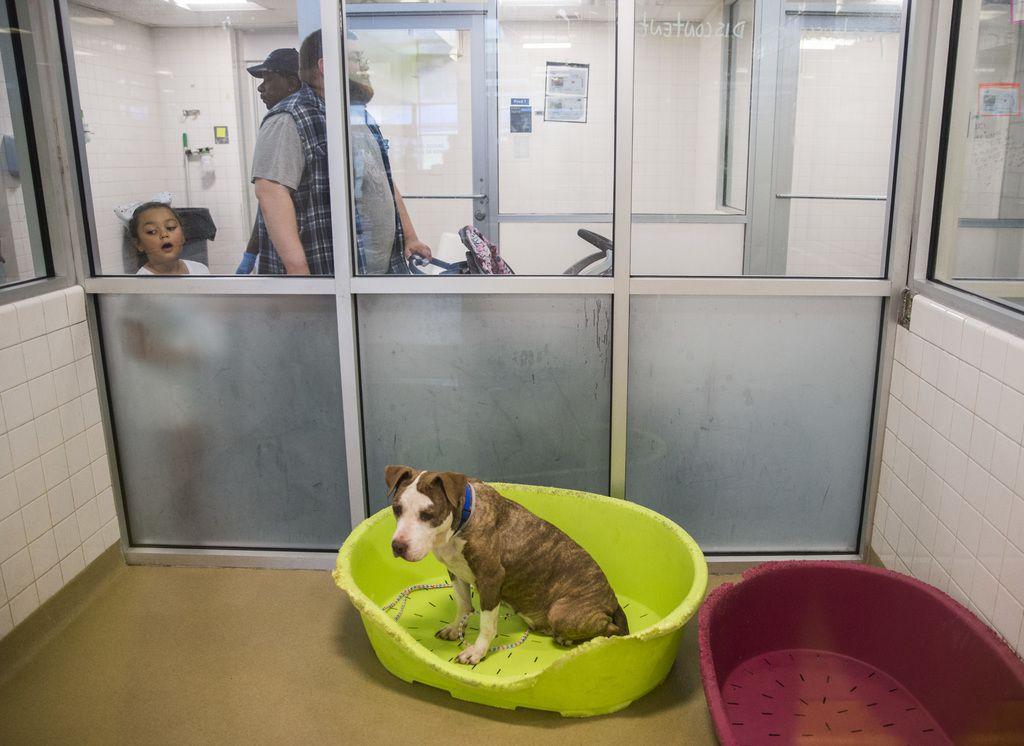 Lola espera que alguien la adopte en el refugio de animales de Dallas. El DAS busca 100 padres adoptivos temporales para 100 perros, y así salvar sus vidas.