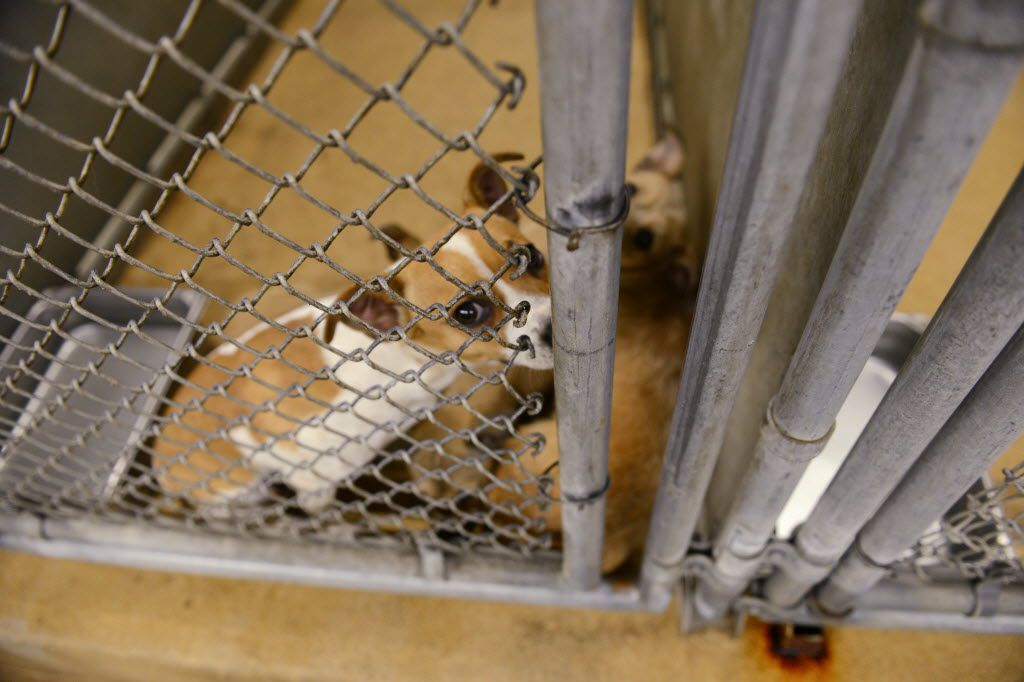 Dogs await adoption at Garland Animal Services, which will have a new shelter opening in 2022.