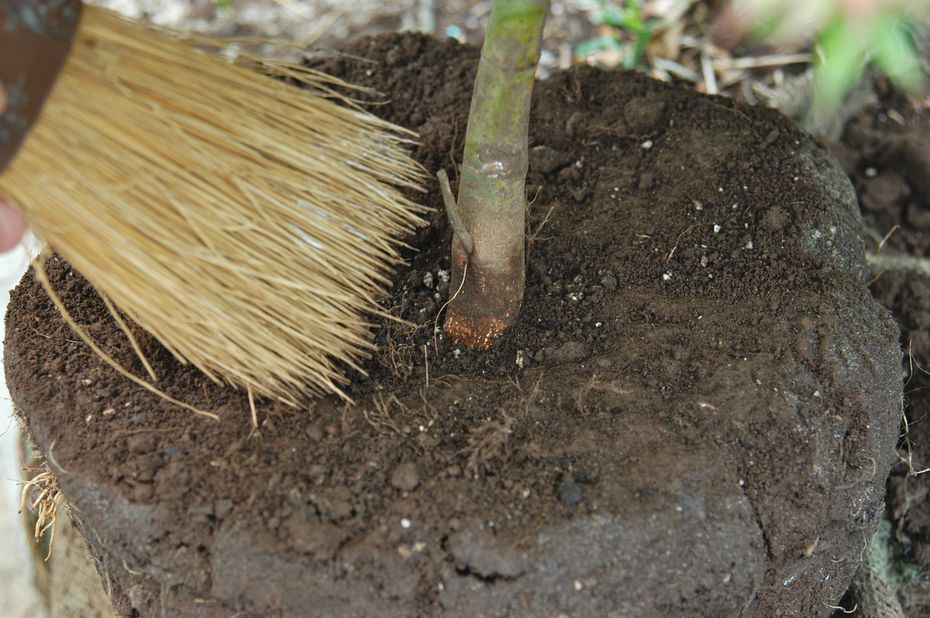 Flares should be exposed by carefully removing excess soil.
