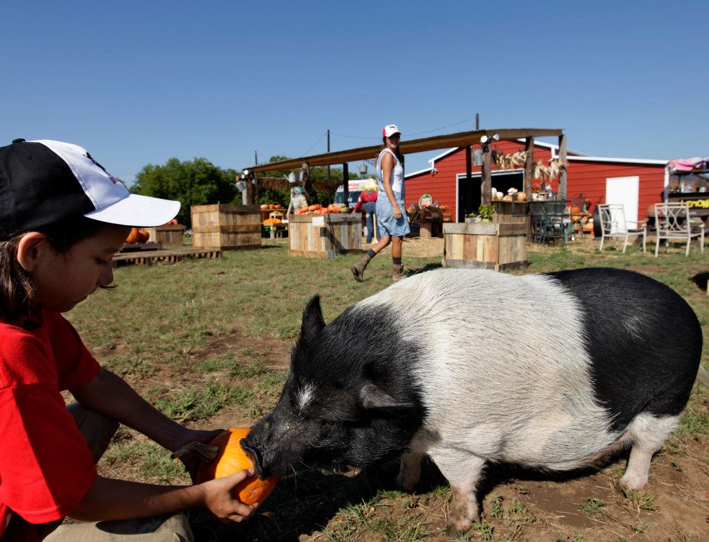 10-year-old Keegan Fleming feeds pumpkins to Lola the pig at Lola's Local Market in Melissa
