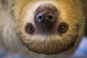Sandy the sloth hangs out at EarthWise Pet Supply in Flower Mound. (Smiley N. Pool/Staff Photographer)