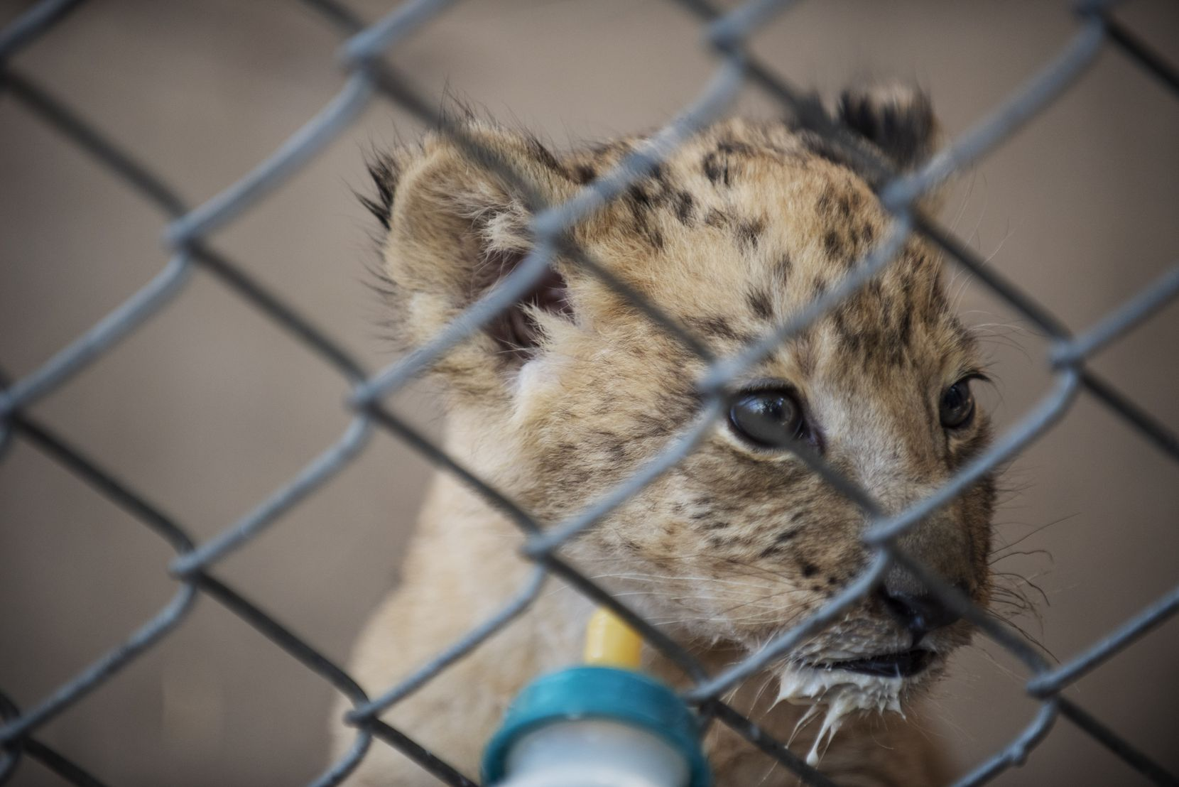 Izwi, sporting a milk goatee, looks away for a moment while feeding from a bottle with special formula by Dallas Zoo senior zoologists, on Tuesday, Sept. 29, 2020 in Dallas. Ben Torres/Special Contributor