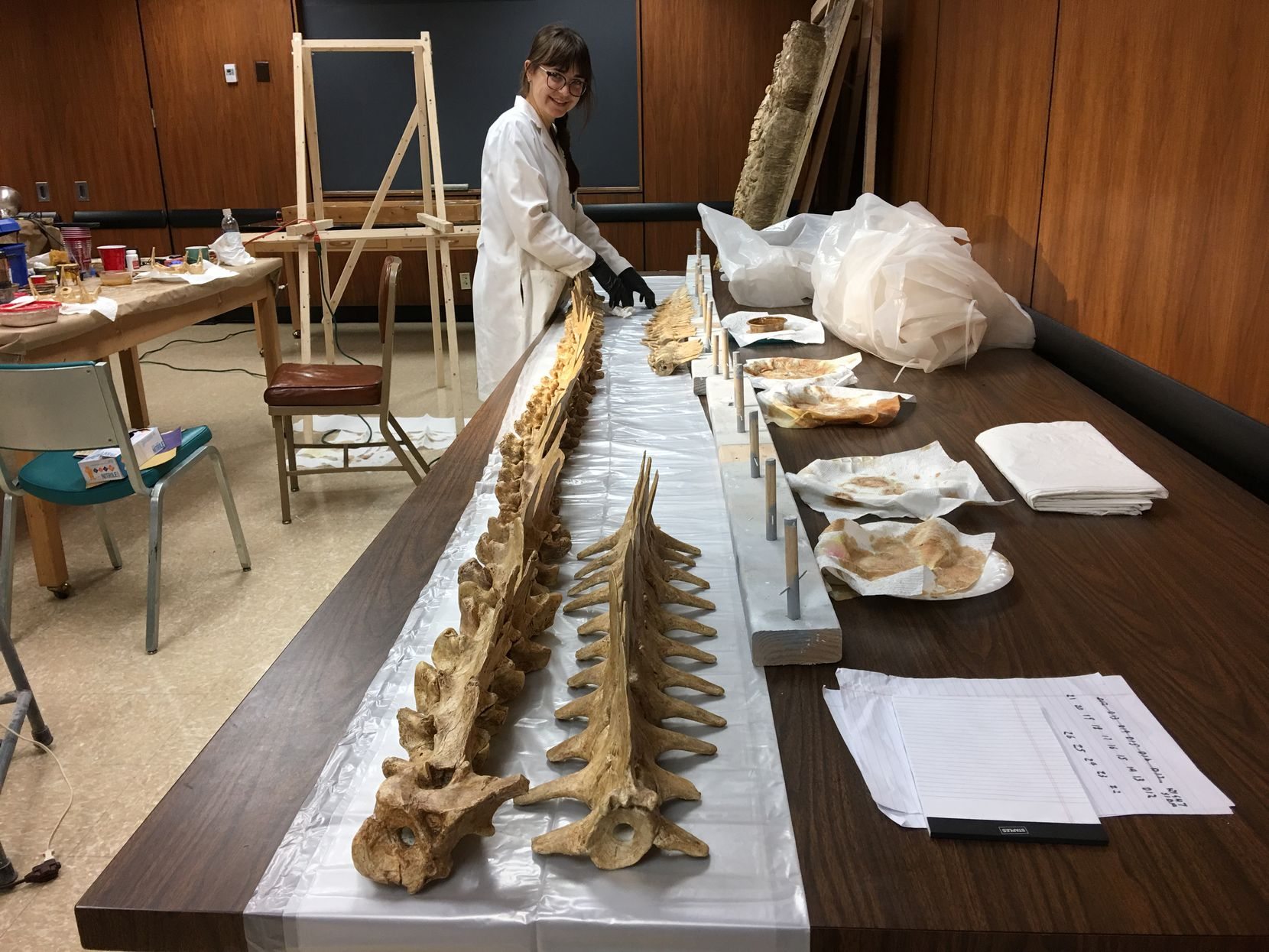 Myria Perez prepared a fossil for Sea Monsters Unearthed, a Smithsonian National Museum of Natural History exhibit at SMU in December 2018.