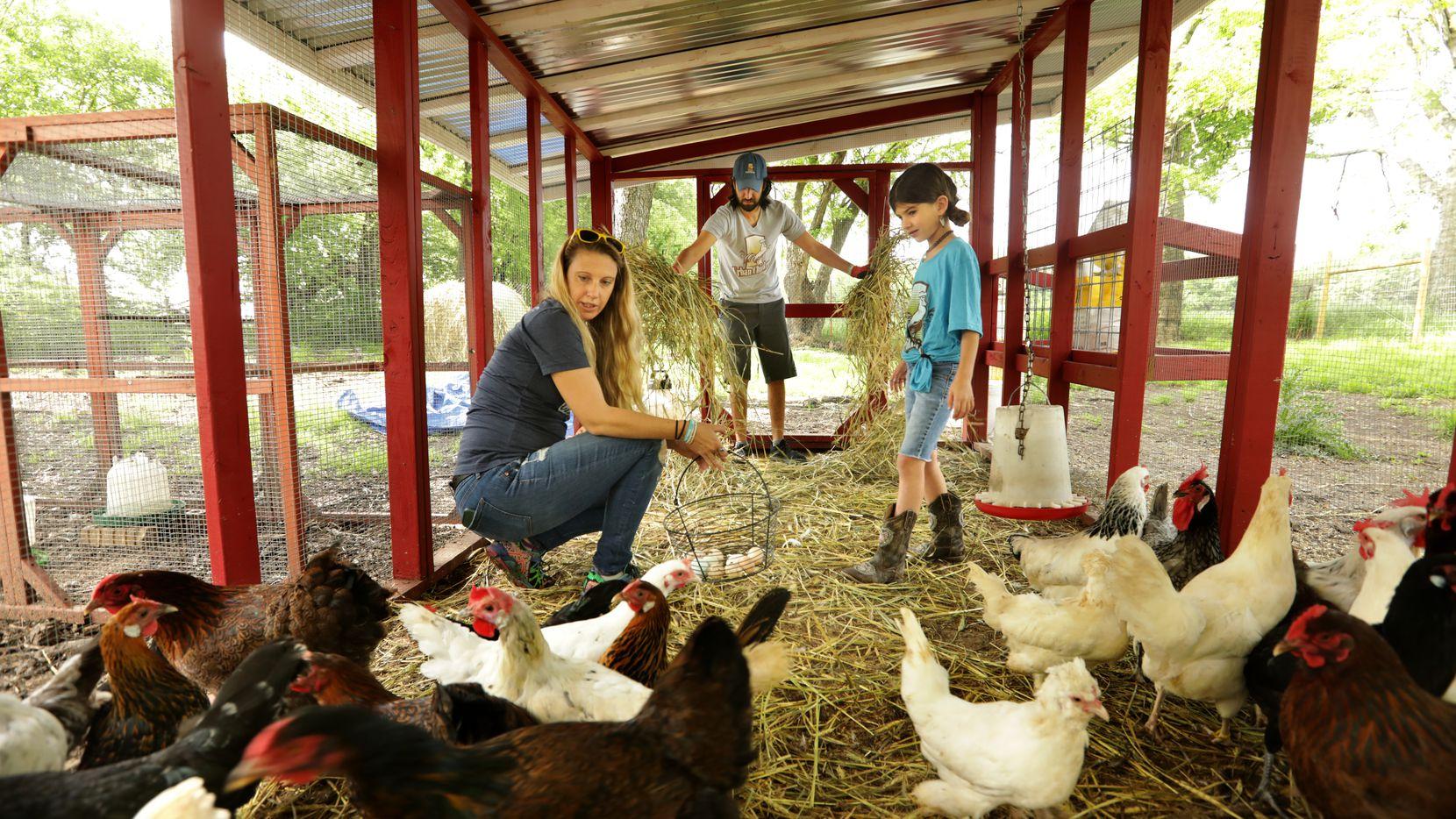 Casey Cutler (izquierda), John Ramos y su hija Joplin Ramos, 7 años, cuidan de sus pollos en el gallinero en su casa el 21 de abril de 2020 en McKinney, Texas. (Jason Janik/Special Contributor)