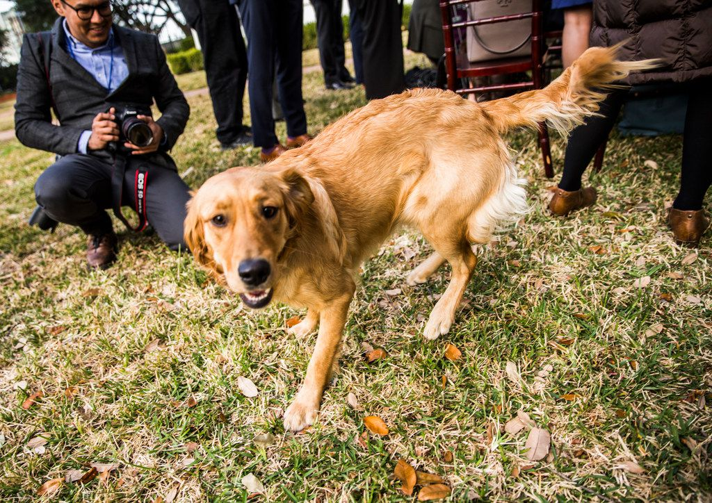 Peaches, one of the governor's dogs, interrupts a press conference where Governor Greg Abbott, Lt. Governor Dan Patrick and Speaker of the House Dennis Bonnen spoke at the Governor's mansion on the second day of the 86th Texas legislature on Wednesday, January 9, 2019 in Austin, Texas.