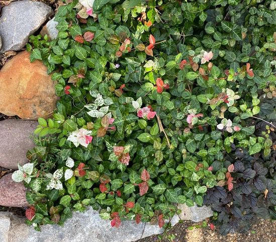Colorful variegated Asian jasmine is now available.