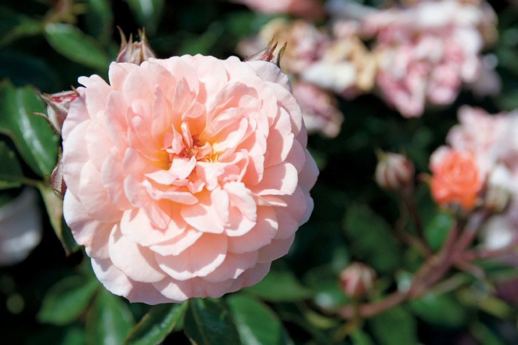 Apricot Drift rose, Star Roses and Plants