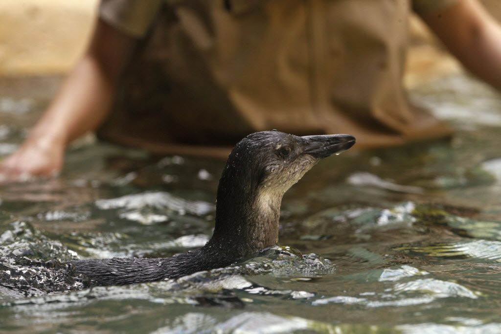 Opus the penguin chick takes his first swim at the Dallas Zoo in Dallas on March 22, 2017.