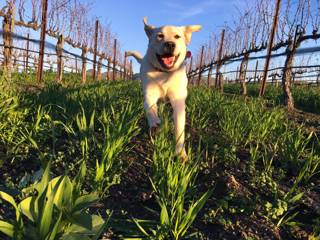 Dixie runs through Talley Vineyards in San Luis Obispo's wine country on California's Central Coast.
