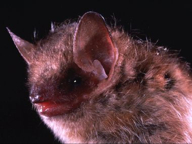 Pictured is an eastern pipistrelle bat, a species that is frequently linked with human rabies cases.