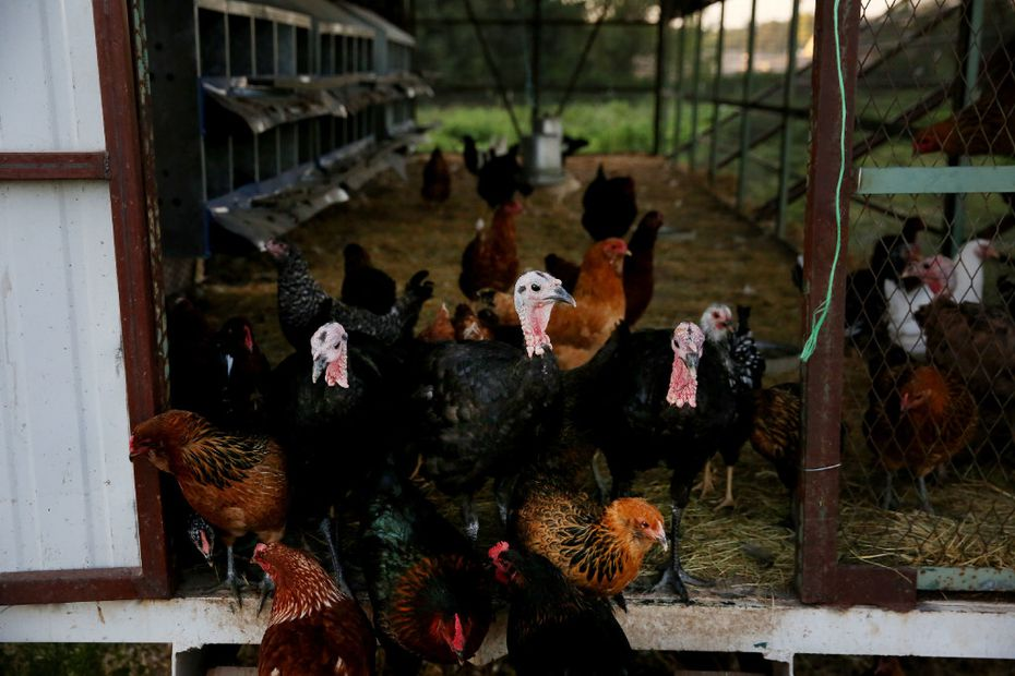 Turkeys stand among chickens at the threshold of the coup at Bonton Farms. (Andy Jacobsohn/Staff Photographer)
