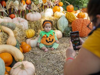 Alanna Zingano takes a photo of her seven-month old daughter Valencia at the Dallas Arboretum's Pumpkin Village.